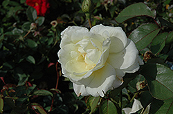 Macy's Pride™ Rose (Rosa 'BAIcream') at Skillins Greenhouse