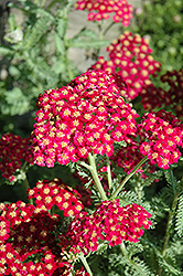 Red Velvet Yarrow (Achillea millefolium 'Red Velvet') at Skillins Greenhouse