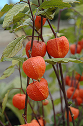 Chinese Lantern (Physalis franchetii) at Skillins Greenhouse