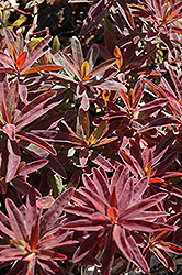 Bonfire Cushion Spurge (Euphorbia polychroma 'Bonfire') at Skillins Greenhouse
