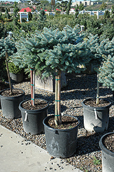 Globe Blue Spruce (tree form) (Picea pungens 'Globosa (tree form)') at Skillins Greenhouse