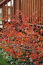 Autumn Magic Black Chokeberry (Aronia melanocarpa 'Autumn Magic') at Skillins Greenhouse
