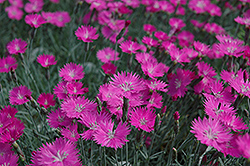 Firewitch Pinks (Dianthus gratianopolitanus 'Firewitch') at Skillins Greenhouse