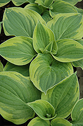 Wide Brim Hosta (Hosta 'Wide Brim') at Skillins Greenhouse