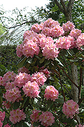 Scintillation Rhododendron (Rhododendron 'Scintillation') at Skillins Greenhouse