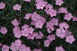Bath's Pink Pinks (Dianthus 'Bath's Pink') at Skillins Greenhouse