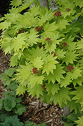 Golden Fullmoon Maple (Acer japonicum 'Aureum') at Skillins Greenhouse