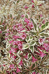 My Monet® Weigela (Weigela florida 'Verweig') at Skillins Greenhouse