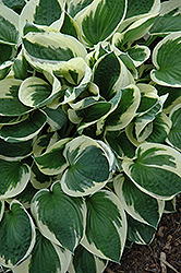 Patriot Hosta (Hosta 'Patriot') at Skillins Greenhouse