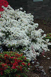 Delaware Valley White Azalea (Rhododendron 'Delaware Valley White') at Skillins Greenhouse
