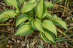 Rainbow's End Hosta (Hosta 'Rainbow's End') at Skillins Greenhouse