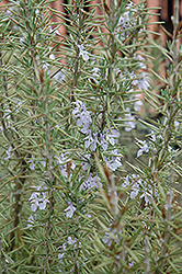 Arp Rosemary (Rosmarinus officinalis 'Arp') at Skillins Greenhouse