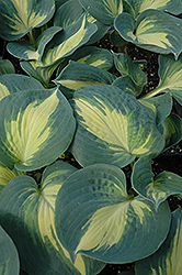 Dream Weaver Hosta (Hosta 'Dream Weaver') at Skillins Greenhouse
