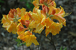George Reynolds Azalea (Rhododendron 'George Reynolds') at Skillins Greenhouse