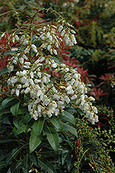Mountain Fire Japanese Pieris (Pieris japonica 'Mountain Fire') at Skillins Greenhouse