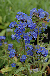 Blue Angel Summer Forget-Me-Not (Anchusa capensis 'Blue Angel') at Skillins Greenhouse