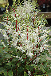 Rock And Roll Astilbe (Astilbe 'Rock And Roll') at Skillins Greenhouse