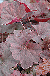Venus Coral Bells (Heuchera 'Venus') at Skillins Greenhouse