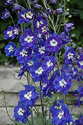 Blue Bird Larkspur (Delphinium 'Blue Bird') at Skillins Greenhouse