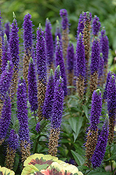 Royal Candles Speedwell (Veronica spicata 'Royal Candles') at Skillins Greenhouse
