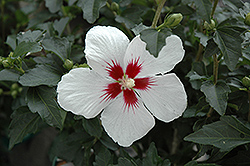 Lil' Kim® Rose of Sharon (Hibiscus syriacus 'Antong Two') at Skillins Greenhouse