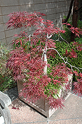 Ever Red Lace-Leaf Japanese Maple (Acer palmatum 'Ever Red') at Skillins Greenhouse