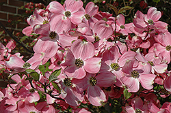 Cherokee Brave Flowering Dogwood (Cornus florida 'Cherokee Brave') at Skillins Greenhouse