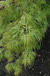Seiryu Japanese Maple (Acer palmatum 'Seiryu') at Skillins Greenhouse