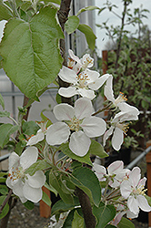 Gala Apple (Malus 'Gala') at Skillins Greenhouse
