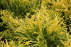 Golden Mop Falsecypress (Chamaecyparis pisifera 'Golden Mop') at Skillins Greenhouse