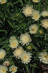 Mary Gregory Aster (Stokesia laevis 'Mary Gregory') at Skillins Greenhouse