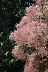 Grace Smokebush (Cotinus 'Grace') at Skillins Greenhouse
