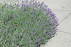 Munstead Lavender (Lavandula angustifolia 'Munstead') at Skillins Greenhouse