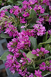 Spring Charm Rock Cress (Arabis 'Spring Charm') at Skillins Greenhouse