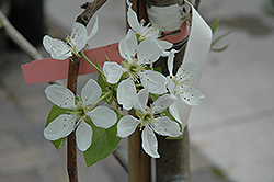Bosc Pear (Pyrus communis 'Bosc') at Skillins Greenhouse