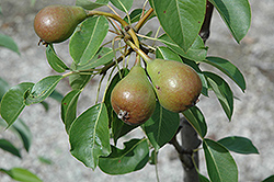 Moonglow Pear (Pyrus communis 'Moonglow') at Skillins Greenhouse