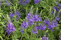 Crater Lake Blue Speedwell (Veronica austriaca 'Crater Lake Blue') at Skillins Greenhouse