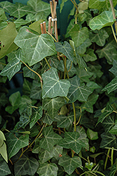 Thorndale Ivy (Hedera helix 'Thorndale') at Skillins Greenhouse