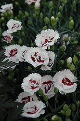 Scent First® Coconut Surprise Pinks (Dianthus 'WP05Yves') at Skillins Greenhouse