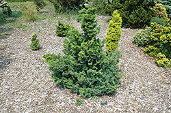 Split Rock Blue Hinoki Falsecypress (Chamaecyparis obtusa 'Split Rock') at Skillins Greenhouse