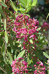 Poke Logan Sheep Laurel (Kalmia angustifolia 'Poke Logan') at Skillins Greenhouse