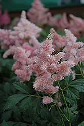 Sister Theresa Astilbe (Astilbe x arendsii 'Sister Theresa') at Skillins Greenhouse