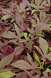 Sweet Caroline Bronze Sweet Potato Vine (Ipomoea batatas 'Sweet Caroline Bronze') at Skillins Greenhouse