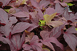 Sweet Caroline Red Sweet Potato Vine (Ipomoea batatas 'Sweet Caroline Red') at Skillins Greenhouse