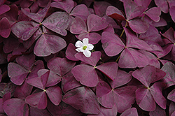 Charmed Wine Shamrock (Oxalis 'Charmed Wine') at Skillins Greenhouse