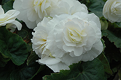 Nonstop® White Begonia (Begonia 'Nonstop White') at Skillins Greenhouse