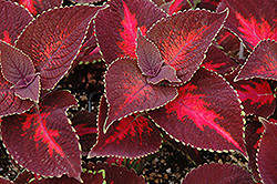 ColorBlaze® Kingswood Torch Coleus (Solenostemon scutellarioides 'Kingswood Torch') at Skillins Greenhouse