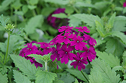 Superbena® Purple Verbena (Verbena 'Superbena Purple') at Skillins Greenhouse