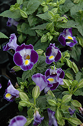 Catalina Midnight Blue Torenia (Torenia 'Catalina Midnight Blue') at Skillins Greenhouse