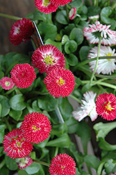 Bellisima Red English Daisy (Bellis perennis 'Bellissima Red') at Skillins Greenhouse